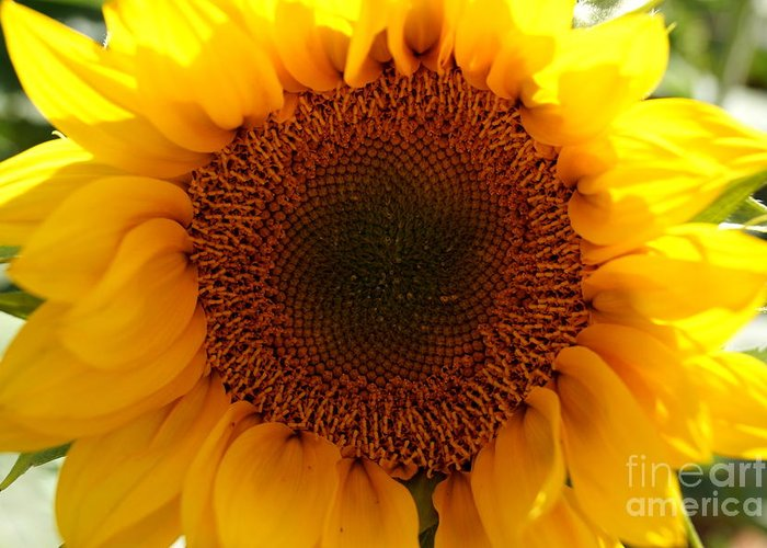 Agriculture Greeting Card featuring the photograph Golden Ratio Sunflower by Kerri Mortenson