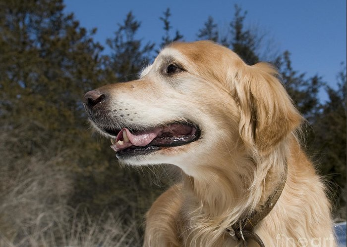 Alert Greeting Card featuring the photograph Golden Retriever Portrait by Gord Horne
