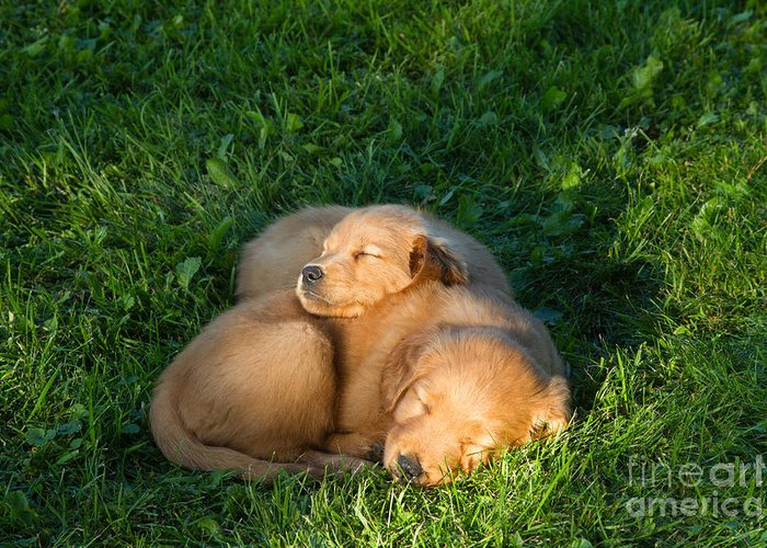 Nature Greeting Card featuring the photograph Golden Retriever Puppies Sleeping by Linda Freshwaters Arndt