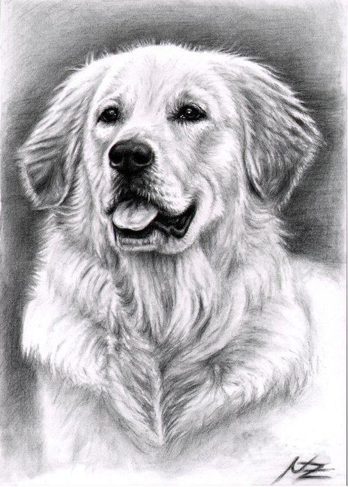 Dog Greeting Card featuring the drawing Golden Retriever Spence by Nicole Zeug