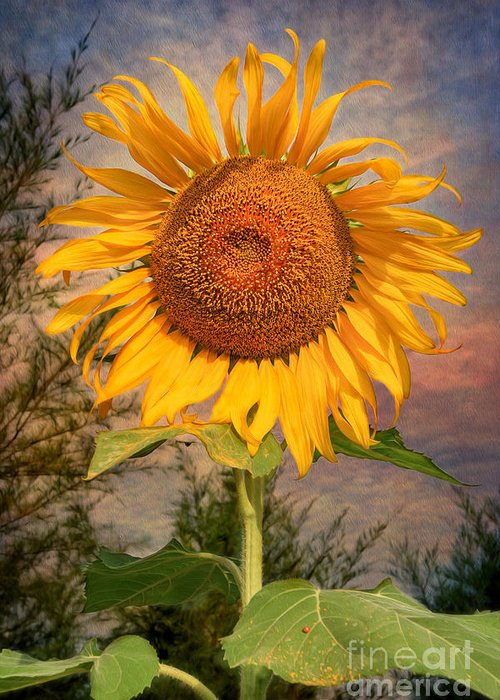 Hdr Greeting Card featuring the photograph Golden Sunflower by Adrian Evans