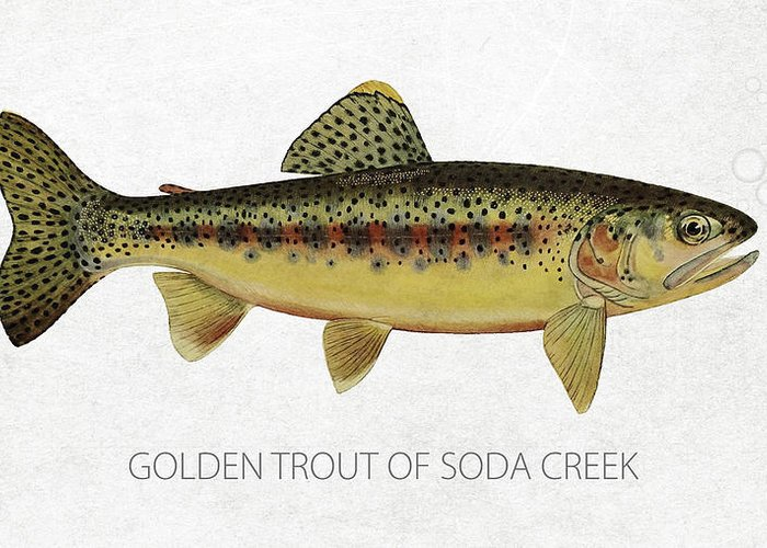 Golden Trout Greeting Card featuring the drawing Golden Trout Of Soda Creek by Aged Pixel