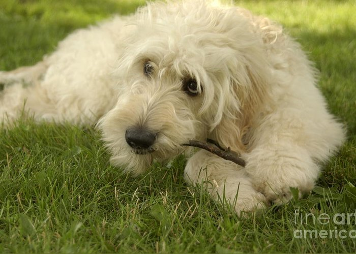 Dog Greeting Card featuring the photograph Goldendoodle Pup With Stick by Anna Lisa Yoder