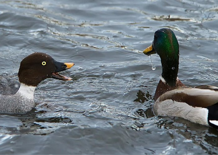 Goldeneye Hen Greeting Card featuring the photograph Goldeneye And Mallard by Stephen Johnson