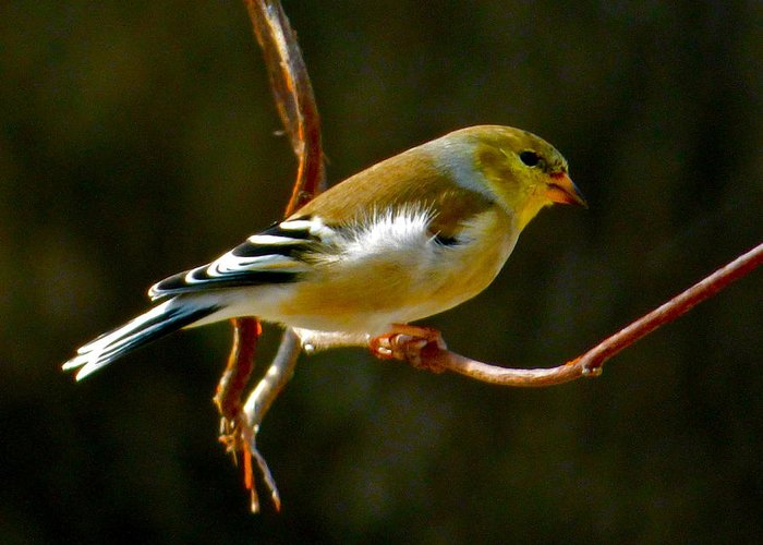 Goldfinch Greeting Card featuring the photograph Goldfinch by Jean Wright