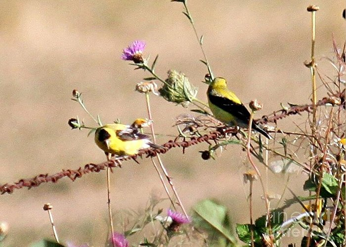 Gold Greeting Card featuring the photograph Goldfinch Quest 1 by Erica Hanel