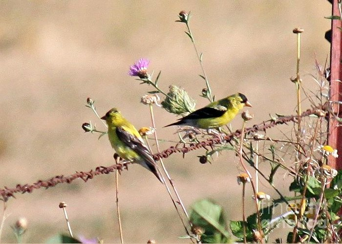 Gold Greeting Card featuring the photograph Goldfinch Quest 5 by Erica Hanel