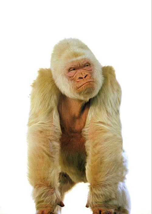 Adult Greeting Card featuring the photograph Gorille Albinos Gorilla Gorilla by Gerard Lacz