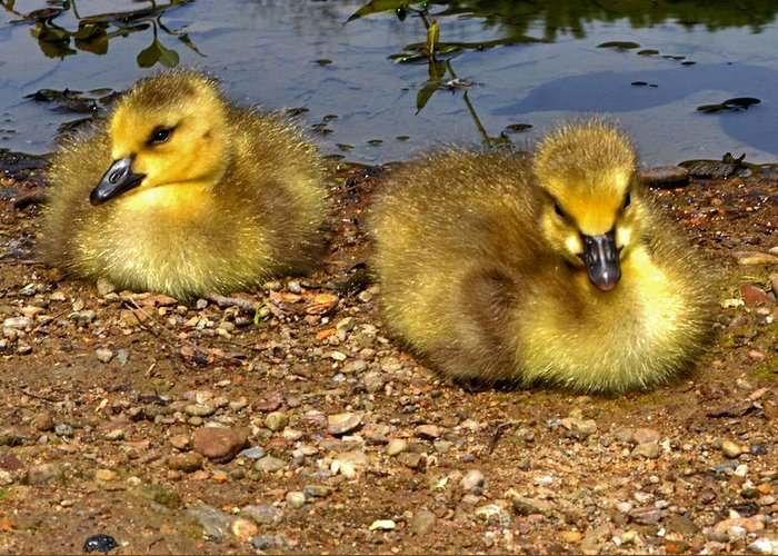 Geese Greeting Card featuring the photograph Goslings 001 by George Bostian