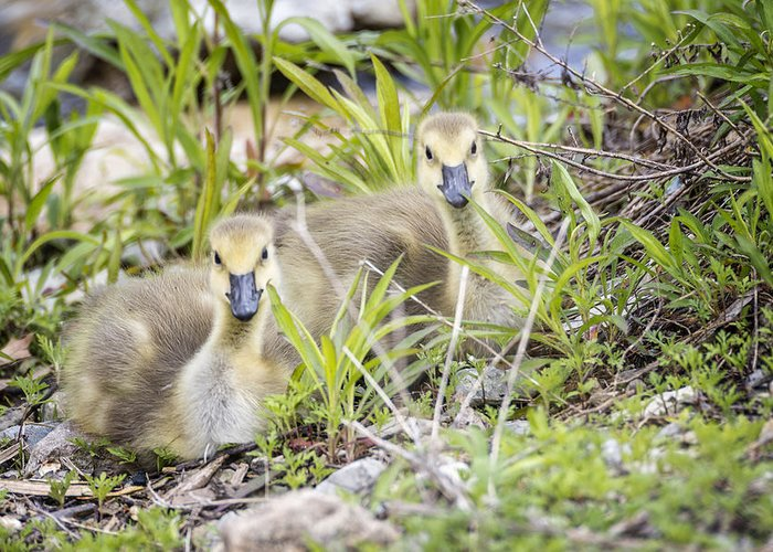Gosling Greeting Card featuring the photograph Goslings by Kate Houlne