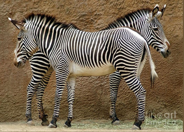 Zebra Greeting Card featuring the photograph Got Your Back by Dan Holm