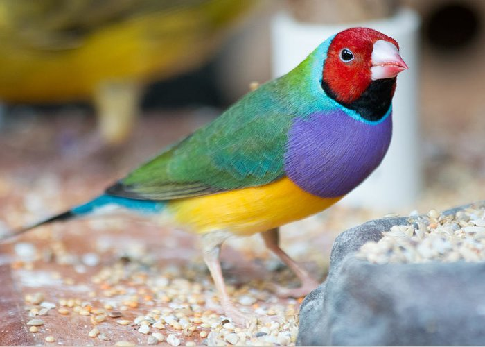 Beak Greeting Card featuring the photograph Gouldian Finch by Gaurav Singh