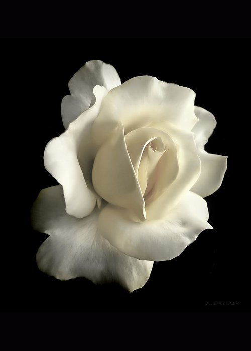 Rose Greeting Card featuring the photograph Grandeur Ivory Rose Flower by Jennie Marie Schell