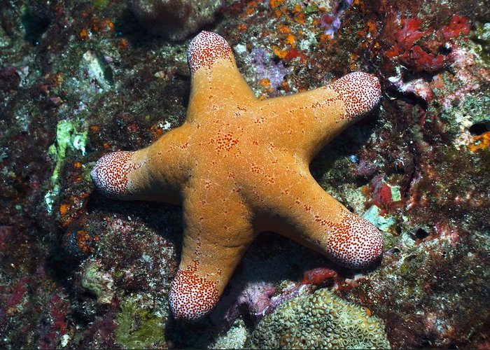 Animal Greeting Card featuring the photograph Granulated Seastar by Science Photo Library