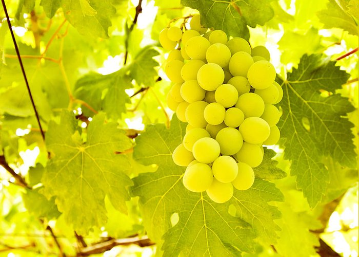 Autumn Greeting Card featuring the photograph Grape Branch by Anna Om
