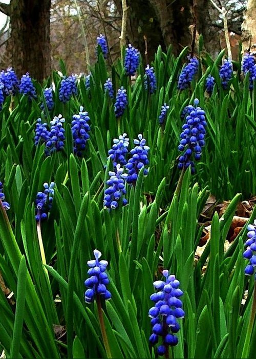 Floral Art Greeting Card featuring the photograph Grape Hyacinths by Julie Dant