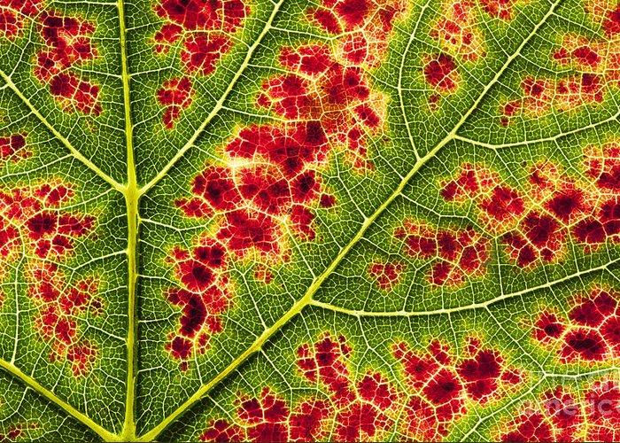 Grapevine Autumn Leaf Photographs Greeting Cards