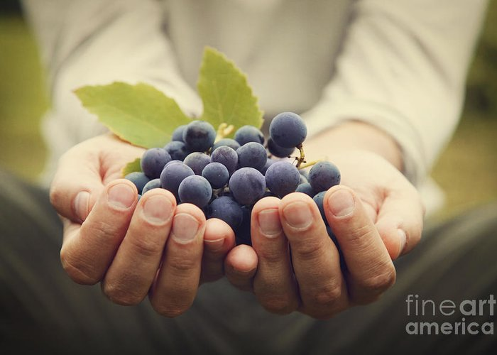 Agriculture Greeting Card featuring the photograph Grapes Harvest by Mythja Photography