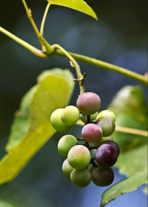Grape Greeting Card featuring the photograph Grapes On The Vine by Christina Rollo