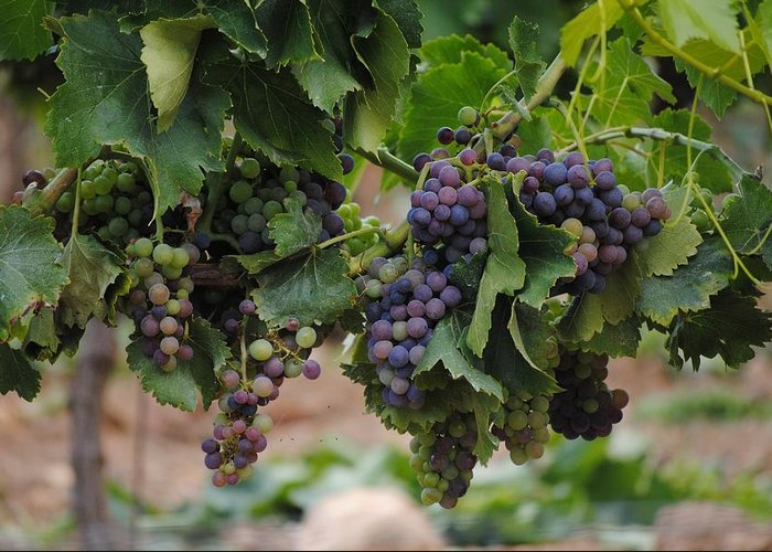 Grapes Greeting Card featuring the photograph Grapes On Vine by FL collection