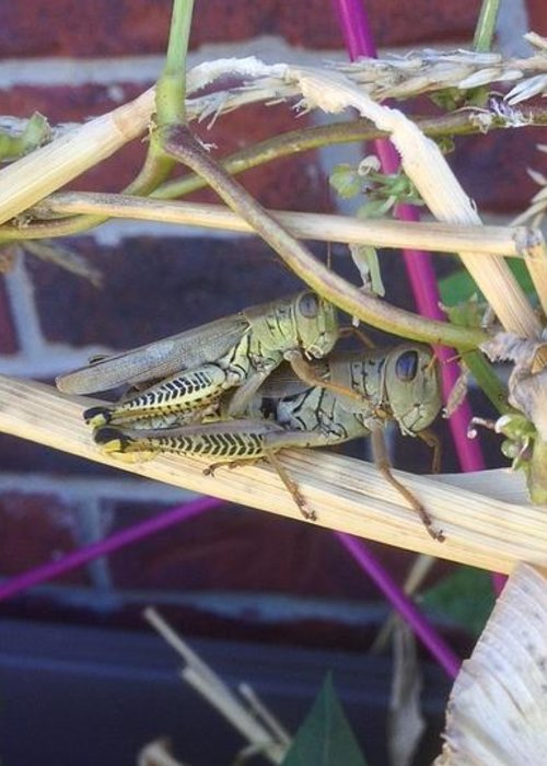 Piggyback Grasshoppers In The Garden On A Fall Day Greeting Card featuring the photograph Grasshopper Piggyback by Lorraine Coughlin