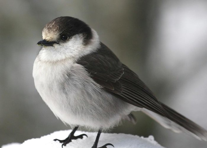 Gray Jay Greeting Card featuring the photograph Gray Jay 1 by Tania Morris