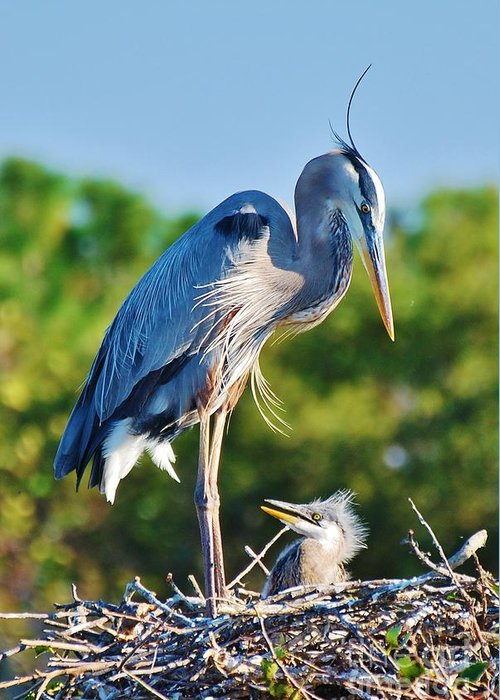 Heron Greeting Card featuring the photograph Great Blue Heron And Baby by William Wyckoff