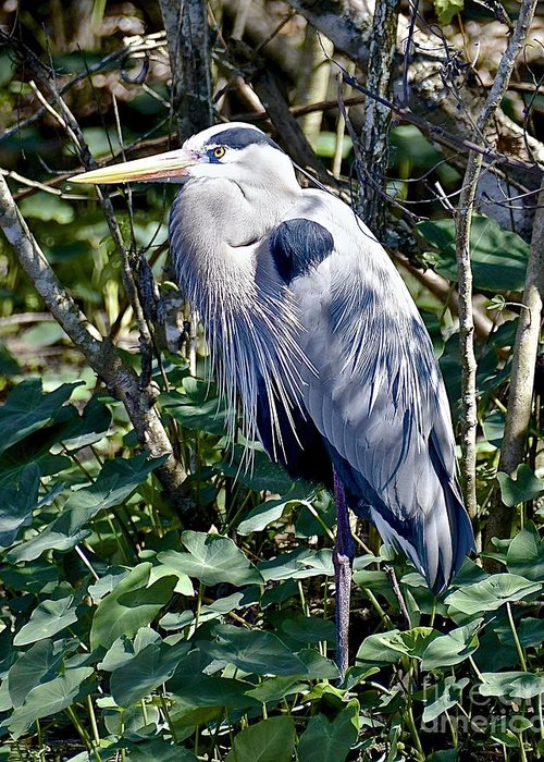 Heron Greeting Card featuring the photograph Great Blue Heron by Carol Bradley
