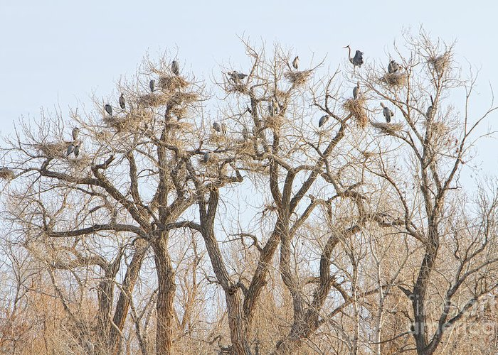 Animals Greeting Card featuring the photograph Great Blue Heron Colony by James BO Insogna