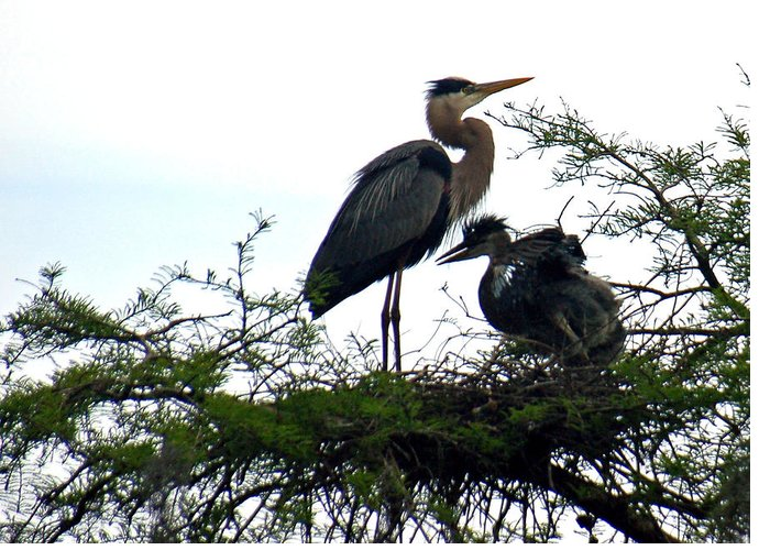 Blue Heron Greeting Card featuring the photograph Great Blue Heron With Fledglings II by Suzanne Gaff
