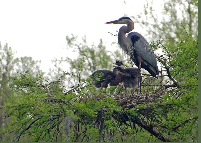 Great Blue Heron Greeting Card featuring the photograph Great Blue Heron With Fledglings by Suzanne Gaff