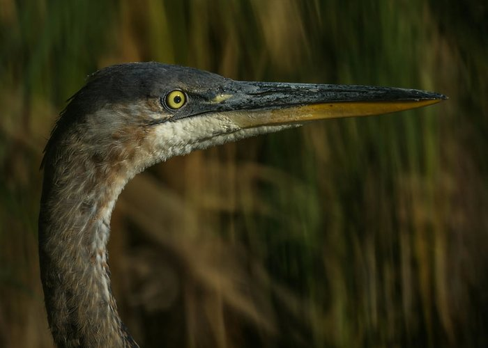 Animals Greeting Card featuring the photograph Great Blue Profile by Ernie Echols