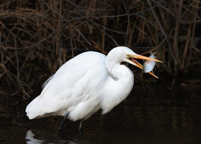 Red Greeting Card featuring the photograph Great Egret With Big Fish by Jack Nevitt