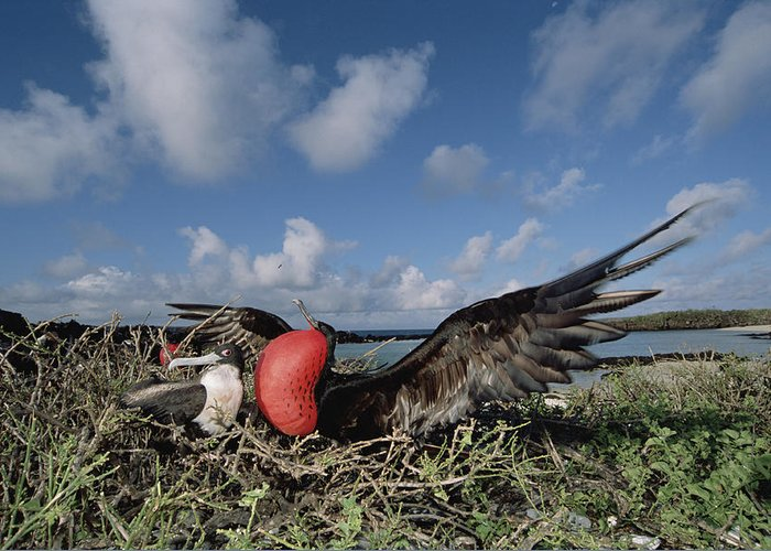 Feb0514 Greeting Card featuring the photograph Great Frigatebird Female Eyes Courting by Tui De Roy