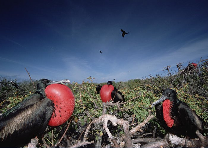 Feb0514 Greeting Card featuring the photograph Great Frigatebird Males In Courtship by Tui De Roy
