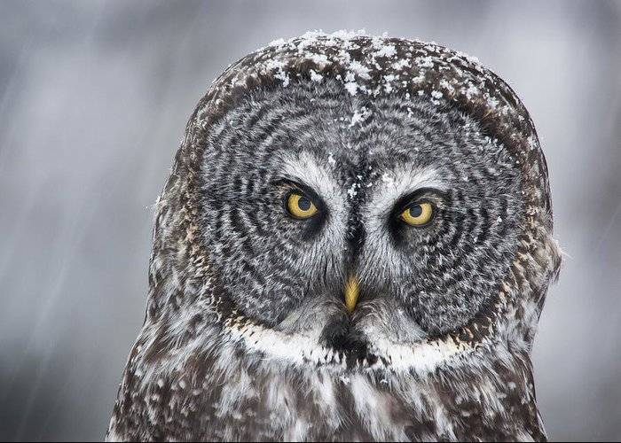 Nis Greeting Card featuring the photograph Great Gray Owl Scowl Minnesota by Benjamin Olson