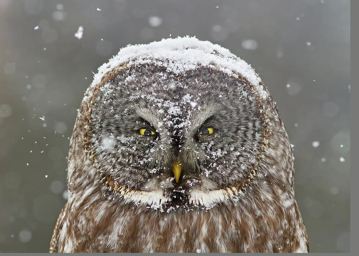 Snowy Owls Greeting Cards