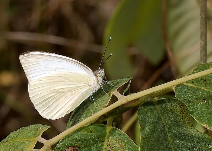 America Greeting Card featuring the photograph Great Southern White Butterfly by Rudy Umans
