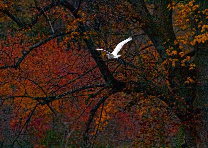 Bird In Flight Greeting Card featuring the photograph Great White Egret - Autumn Flight by J Charles
