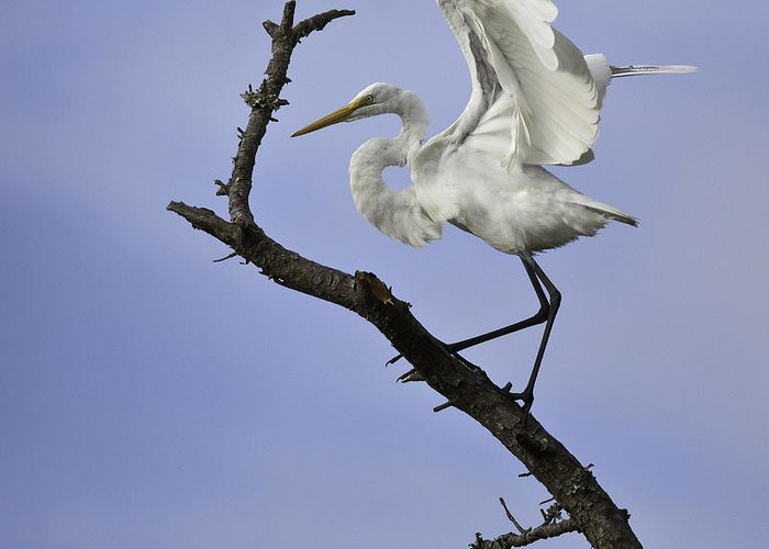 Sky Greeting Card featuring the photograph Great White Egret In Tree by Jack Nevitt