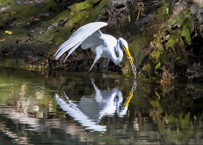 Birds Greeting Card featuring the photograph Great White Heron Fishing by Charles Warren