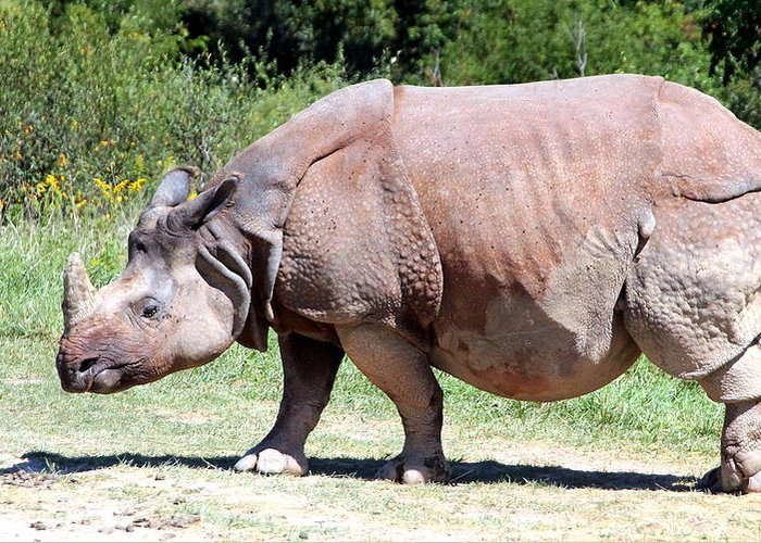 Greater Rhino Greeting Card featuring the photograph Greater One-horned Asian Rhino by Laurel Talabere