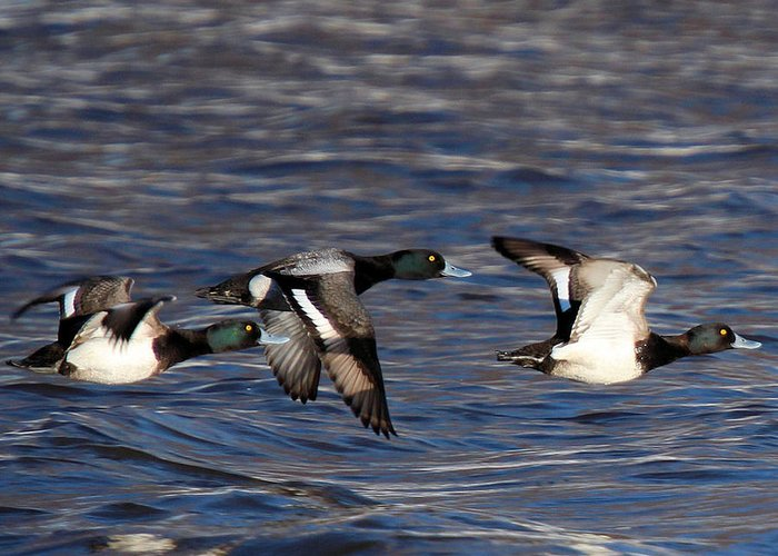 Greater Scaup Ducks Greeting Card featuring the photograph Greater Scaup Drakes Flight by John Dart