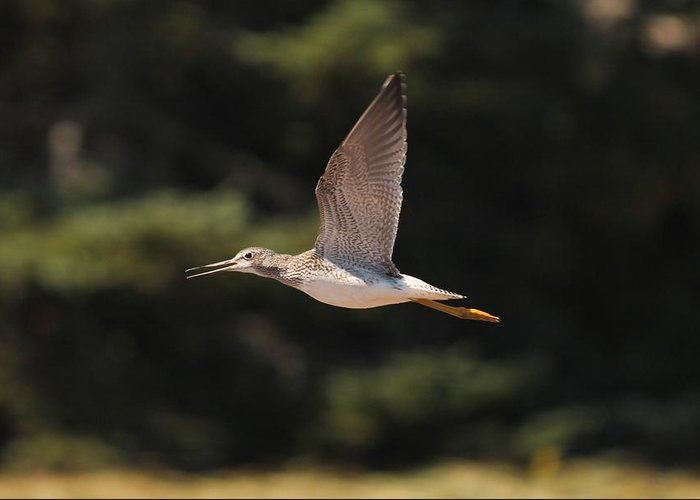 Greater Yellow Legs Greeting Card featuring the photograph Greater Yellow Legs by Liam Brennan