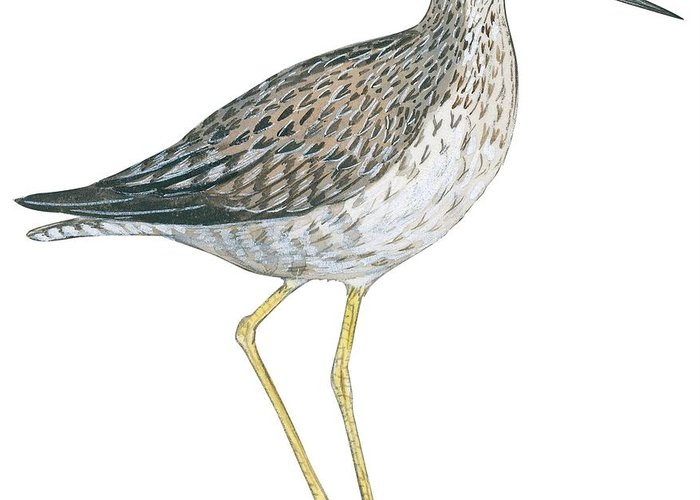 No People; Square Image; Side View; Full Length; White Background; One Animal; Wildlife; Illustration And Painting; Zoology; Close Up; Bird; Feather; Beak; Animal Pattern; Greater Yellowlegs; Tringa Melanoleuca; Wing Greeting Card featuring the drawing Greater Yellowlegs by Anonymous