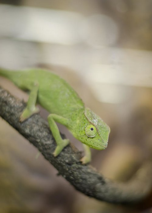 Chameleon Greeting Card featuring the photograph Green Chameleon by Heather Applegate