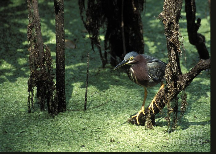 Birds Greeting Card featuring the photograph Green Heron by Steven Ralser