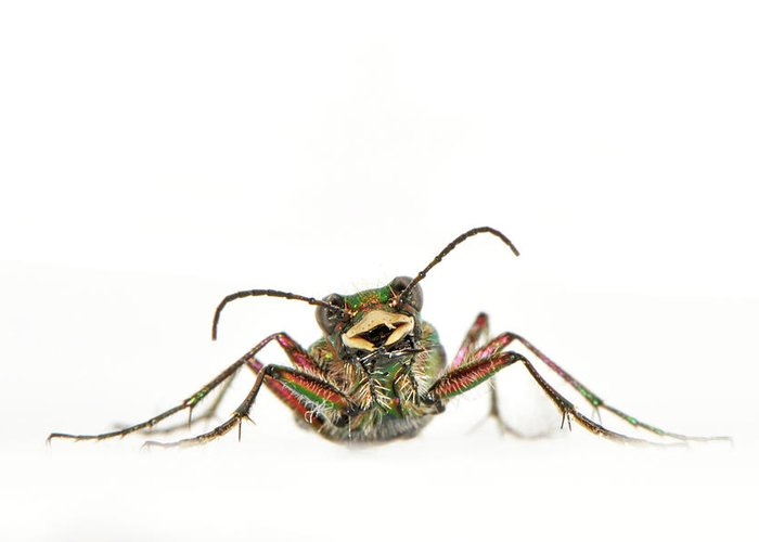 White Background Greeting Card featuring the photograph Green Tiger Beetle by Robert Trevis-smith