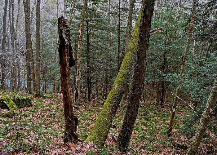 Pennsylvania Greeting Card featuring the photograph Green Timber by Jake Donaldson