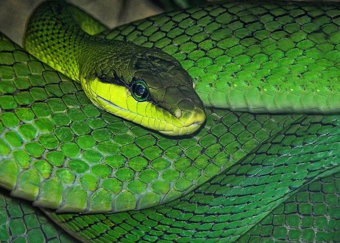 Snake Greeting Card featuring the photograph Green Viper by Joachim G Pinkawa